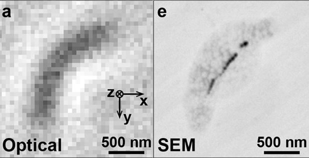 Bright-field image of a magnetotactic bacterium and scanning electron microscope image of the same bacterium.
