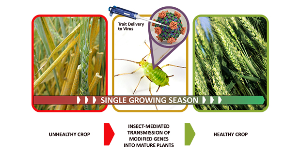 (Image Caption: Insect Allies' three technical areas—trait design, insect vector optimization, and selective gene therapy in mature plants—layer together to support the goal of rapidly transforming mature plants to protect against natural or intentional agricultural disruption without the need for extensive infrastructure. Image Sources: Shutterstock, National Institutes of Health, Creative Commons / E. Mohmand / CIMMYT)