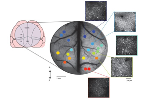 Image Caption: This three-part image shows (left to right) 1) Surgical preparation to record single-cell activity from across cortex. 2) Widefield fluorescent image of a mouse brain taken through a 7-millimeter window used to expose the dorsal cortex for two-photon imaging. The different colored dots represent different fields of view acquired sequentially in different sessions of approximately 30 trials per session. 3) The insets show the maximum projection of fluorescence from single fields of view in layer 2/3 of the brain, acquired with two-photon microscopy.