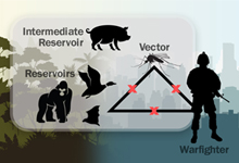 "Image caption: Viral infectious diseases often arise in animals. Over time, as the virus multiplies and mutates, variants can gain the ability to jump between species. Transmission can be direct from animal to human, from animal to ""bridge"" animal to human, or animal to vector to human. DARPA's Preventing Emerging Pathogenic Threats program seeks to prevent these cross-species jumps by predicting viral evolution and transmission pathways and proactively intervening to prevent the jump to humans."