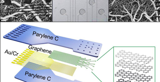 Conventional metal electrode technologies (top left) are opaque, obstructing views of underlying neural tissue. DARPA's RE-NET program has developed new graphene sensors that are electrically conductive but only 4 atoms thick—hundreds of times thinner than current contacts (top middle). Their extreme thinness enables nearly all light to pass through across a wide range of wavelengths. Placed on a flexible plastic backing that conforms to the shape of tissue (bottom), the sensors are part of a proof-of-concept tool that demonstrates much smaller, transparent contacts that can measure and stimulate neural tissue using electrical and optical methods at the same time (top right).